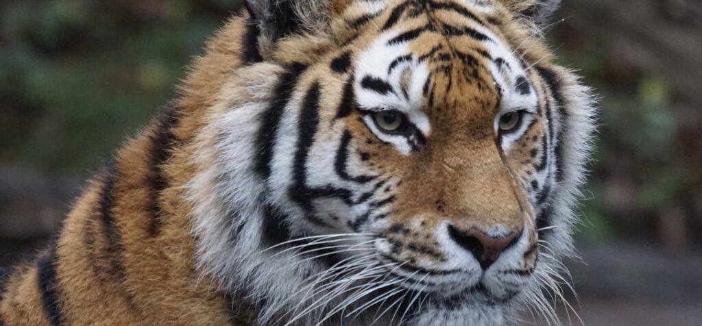 絶滅危惧種トラ